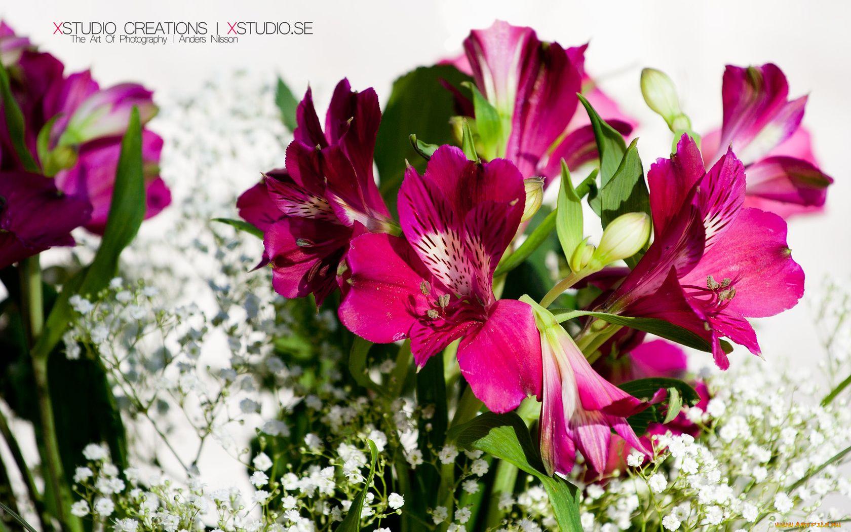 Красивые фото цветов Альстромерии